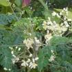 acacia - moringa oleifera