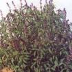 albahaca morada ocimum sanctum